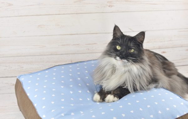 Finley unser Maine Coon Kater